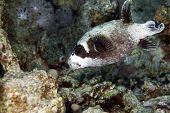 Masked puffer in de Red Sea.