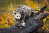 Opossum (didelphimorphia) Stands With Joeys At End Of Log Autumn - Captive Animals poster