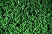 Natural Texture Of Reindeer Moss. Decoration Made Of Lichen Cladonia Rangiferina. Green Moss On The  poster