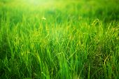 Spring Fresh Bright Green Grass At Sunset On A Warm Sunny Day. Background Of A Green Grass. Green Gr poster