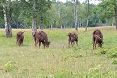 stock photo of aurochs  - Aurochs in the wild outdoors - JPG