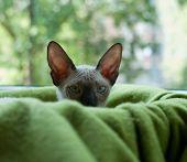 Sphinx Kitten In Green Blanket