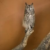 Owl In A African Zoo