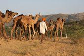 Camel Herder Departs The Pushkar Fair