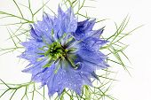 Nigella damascena on white with raindrops