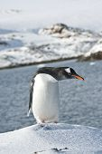 Gentoo Penguin On A Ski Slope.