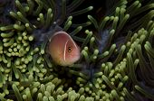 Pink clown fish on green anemone