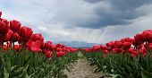 Tulip Field With Rain Clouds