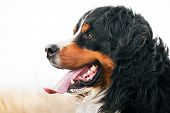 Bernese Mountain Dog portrait. Adult, purebred. Head portrait