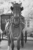 Black and White Amish Buggy Horse
