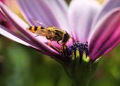 Hoverfly In Colorful Flower
