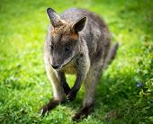 image of wallaby  - Beautiful agile wallaby - JPG