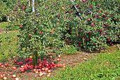 Apples Below a Tree