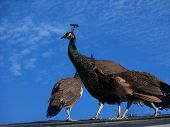 Peacock bird family on roof