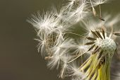 Close-up Of Dandelion.