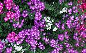 Pink Vinca Periwinkle Flower
