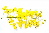 Golden Shower(cassia Fistula) Isolate On White Background