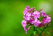 Beautiful floral border of pink flowers on green background