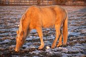 Palomino Horse Eating Winter
