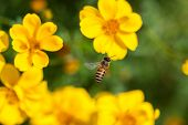 stock photo of blow-up  - Bee on the flower - JPG