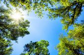 picture of canopy  - The canopy of tall trees framing a clear blue sky with the sun shining through - JPG