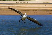 Clumsy Australian Pelican tries to land on water