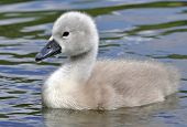 Young Mute Swan Chick