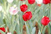Close-up Beautiful Red Tulip Field