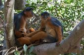 Western Red Colobus Monkey Couple In A Tree