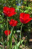red tulips in a spring garden