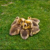 foto of baby goose  - Spring baby goslings piled up in the grass. ** Note: Soft Focus at 100%, best at smaller sizes - JPG