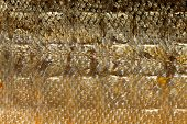 picture of fish skin  - Closeup of shiny scales salmon - JPG