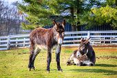 Two donkeys on a farm