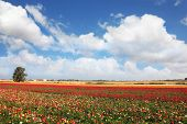 Spring flowering. Huge fields of large colorful buttercups and ranunculus grow in kibbutz in souther