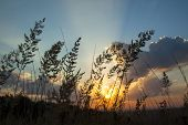 Silhouettes of a grass' stalks against sunrise