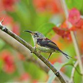 Juvenile Male Black-throated Sunbird