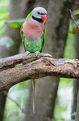 foto of parakeet  - Beautiful Parakeet bird Red - JPG