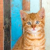 Ginger kitten, portrait