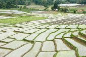 Beautiful Green Rice Field Terrace In Thailand.