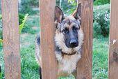 German Shepherd In The Grass