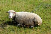 White Sheep Grazing On The Grass