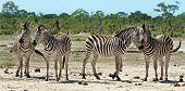 Zebras n Hwange