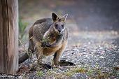 stock photo of wallabies  - Australian Wallaby Eating Vegetation on the Side of the Road - JPG