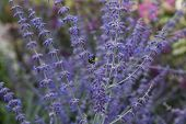 picture of purple sage  - Bee on purple russian sage selective focus - JPG