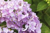 picture of hydrangea  - Hydrangea flower Beautiful purple and pink hydrangea flowers closeup in the garden - JPG
