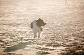 Dog Running on Beach Backlit