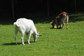 pic of billy goat  - A Brown and a White Goat Grazing in a Grassy Field - JPG