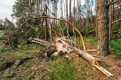 Windfall In Forest. Storm Damage.