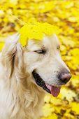 Funny Portrait Of Golden Labrador Retriever In Autumn Park