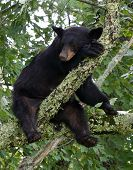 Bear Sleeping In Tree
